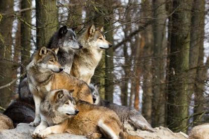 A picture from a pack of wolf sitting on a rock. Ein Bild von einem Wolfsrudel.