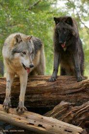 Gray Wolf, British Columbia subspecies Canis lupus columbianus